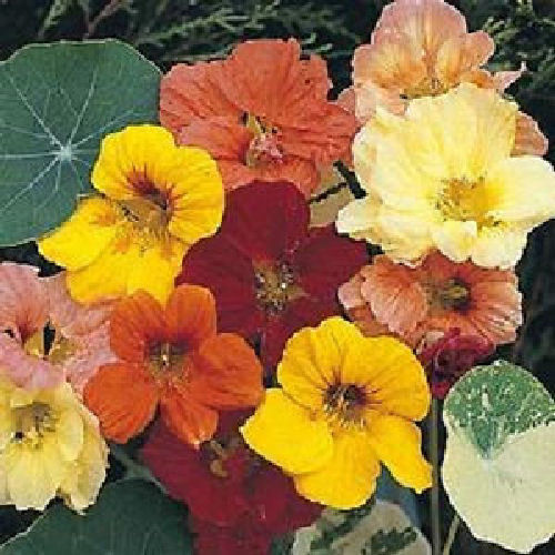Nasturtium Jewel Mix Dwarf Bushy Flower Seeds