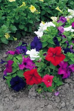 Petunia Colorama Formula Mixed 900 Flower Seeds