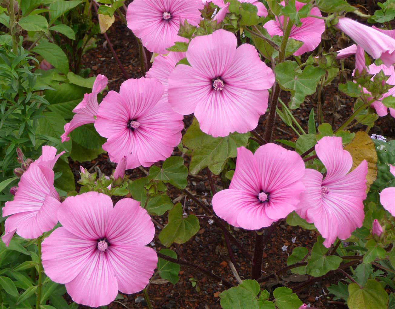 Lavatera Silver Cup 100 Flower Seeds Viridis Hortus