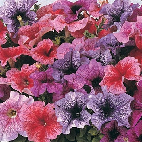 Petunia F1 Daddy Mixed Pelleted Flowers Seeds