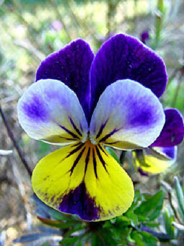 Wild Pansy Heartsease (200) Wildflower Seeds