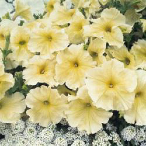 Petunia Prism Sunshine Pelleted Flower Seeds
