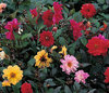 Dahlia Redskin Mixed 40 Premium Flower Seeds