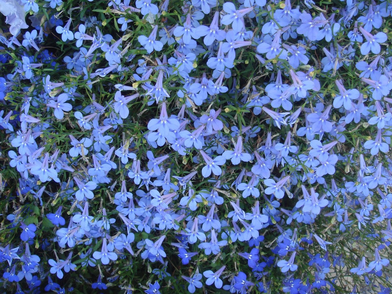 Lobelia Bedding Cambridge Blue Flower Seeds