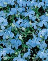 Lobelia (Bedding) Cambridge Blue Flower Seeds