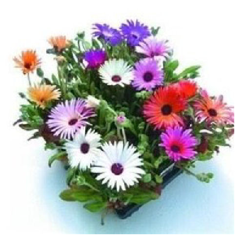 Mesembryanthemum Magic Carpet Mixed Flower Seeds