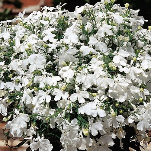 Lobelia White Lady Bedding Flower Seeds Viridis Hortus