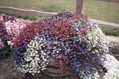 Lobelia Fountains Formula Mix Flower Seeds