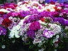 Sweet William Special Mixed 950 (1g) Flower Seed
