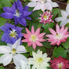 Aquilegia Clematiflora Mix 50 Flower Seeds