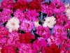 Dianthus Plumarius Spring Beauty Mixed Seeds