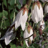 Flower - Campanula Alliarifolia 50 Flower Seeds