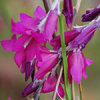 Dierama Blackberry Bells 12 Flower Seeds
