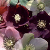 Helleborus Cottage Mixed Perennial Flower Seeds
