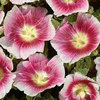 Hollyhock Halo Blush 15 Flower Seeds