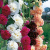 Hollyhock Chater's Double Mix 30 Flower Seeds