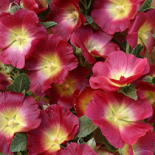 Hollyhock Halo Red 15 Flower Seeds