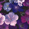 Geranium Hardy Mixed Flower Seed