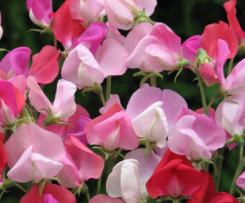 Sweet Pea Heirloom Hot Pinks (65) Seeds
