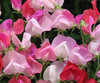 Sweet Pea Heirloom Hot Pinks (1000) Seeds