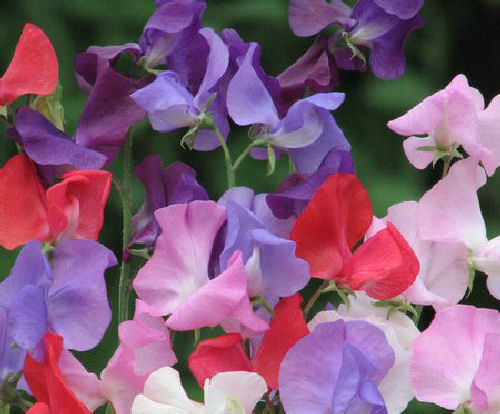 Sweet Pea Royal Mix 65 Seeds Spencer Sweet Pea