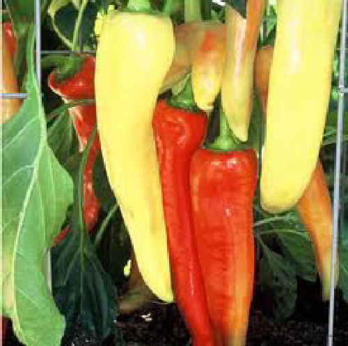 Sweet Banana Pepper 80 Fruit Seeds
