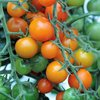 3 x Tomato - Sungold Orange Cherry Plug Plants