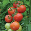 3 x Moneymaker - Tomato Plug Plants