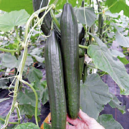 2 x Cucumber Burpless F1 Tasty Green Plug Plants