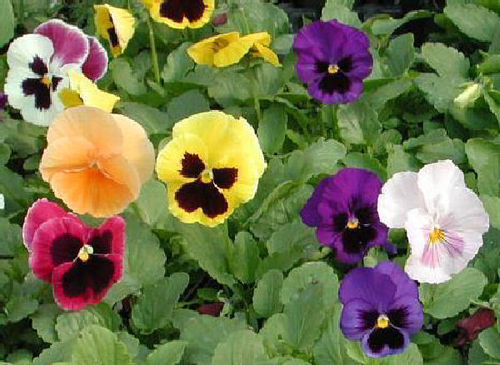 Viola Bambini Mix 150 Flower Seeds