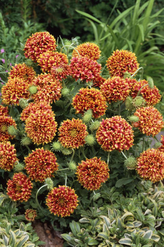 Gaillardia Sundance Bi-colour 70 Flower Seeds
