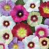 Hollyhock Halo Mixed 15 Flower Seeds