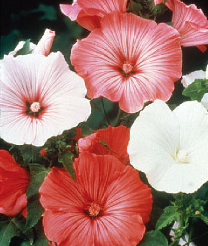 Annual Mallow Beauty Mix 40 Flower Seeds