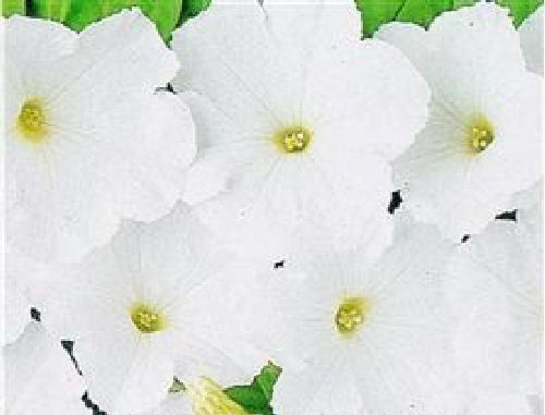 Petunia F1 Mirage White 50 Pellet Flower Seeds