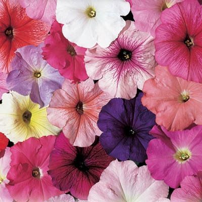 Petunia F1 Celebrity Ice Mix Flower Seeds