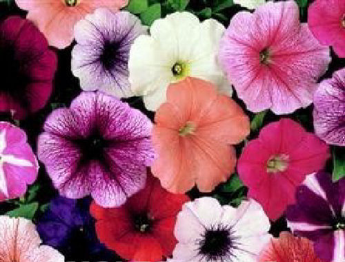 Petunia F1 Mirage Mix 50 Pellet Flower Seeds