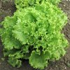 Lettuce Green Salad Bowl 850 1g Vegetable Seeds
