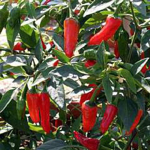 3 x Apache Hot Chilli Pepper Plug Plants Viridis Hortus