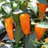 3 x Cheyenne Hot Chilli Pepper Plug Plants
