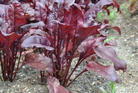 Beet Bulls Blood 100 (1.25g) Babyleaf Veg Seeds