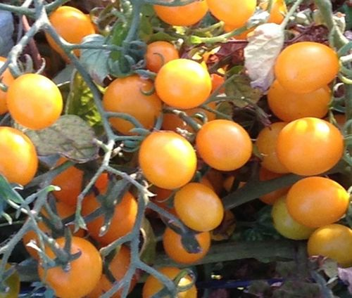 Tomato Orange Berry 6 Cherry Vegetable Seeds