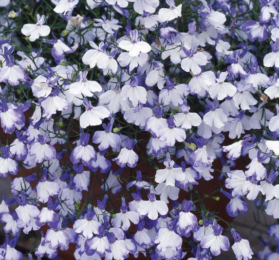 Lobelia Riviera Blue Splash Bedding Flower Seeds Viridis Hortus