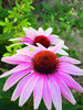 Coneflower Echinacea Angustifolia Flower Seeds