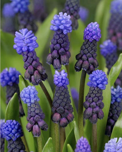 Muscari - Muscari latifolium Bulbs