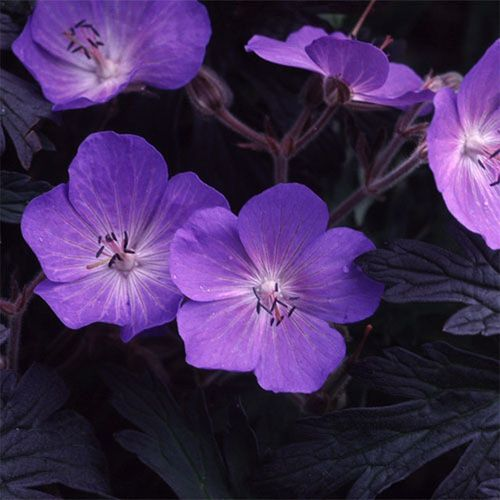 Geranium Pratense 'Purple-Haze' (10) Seeds