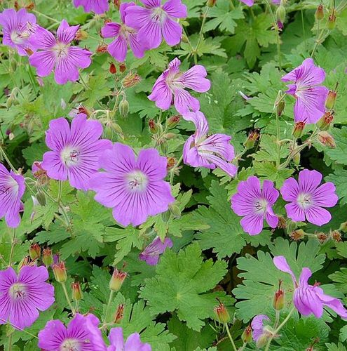 Geranium Gracile (15) Seeds