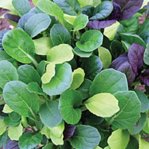 Pak Choi Colour Crunch Mix 400 (1g)