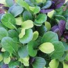 Pak Choi Colour Crunch Mix Vegetable Seeds