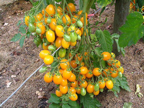 Tomato Ildi Indeterminate Vegetable Seeds