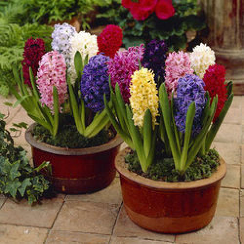 5 x Hyacinth Fine Mixture 16-17cm Bulbs